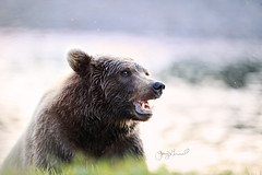 What does a grizzly bear say? (♞Jenny♞) Tags: grizzlybeareatingsalmon battleriveralaska jennygrimm alaska bear eating boar foggy river mist salmon specanimal specanimalphotooftheday