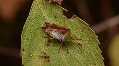 Photo of birch shieldbug, Elasmostethus interstinctus