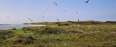 Seagulls breeding area on Düne island (B℮n) Tags: mother juveniles northsea noordzee helgoland germany duitsland atlanticgreyseals seals grey greyseals flight airplane düne island flora fauna birds nature airport oberland unterland breeding janvangent freshair summer holiday rocks langeanna heligoland hiking paths beach sunbathing nudist nudists sea seabirds boat catamaran cliffs walking sandstonerock climate gulfstream favours mildtemperatures smallestislands pilot piloot vlucht deutschland devpl sand dune dunes halunderfreesk ferry 55kmfromthecoast vacation veerboot lighthouse zeehonden seaweed seadog seacalf rob zeemeeuwen seagulls zeemeeuw seagull 50faves topf50 100faves topf100