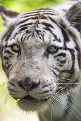 White tigress looking a bit dumb (Tambako the Jaguar) Tags: tiger big wild cat white bengal female close portrait face funny dumb crosseyed looking bratislava zoo slovakia nikon d5