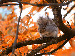Autumnal Squirrel (christophbieniek (Thank you for 1 million views!)) Tags: squirrel eichhörnchen kensingtongardens london g9 microfourthirds autumn indiansummer leaves