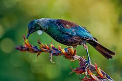 NZ Tui (David Hamments) Tags: bird tui whangamata newzealand birdsofnewzealand flickrunitedaward ngc fantasticnature