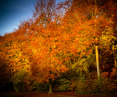 Autumnal Flames (broadswordcallingdannyboy) Tags: leaves nationalpark autumn fall mood light hampshire gardens leonreillyphotography copyright donotcopy eos7d canon leonreilly eflens colour autumncolour britishnationalpark southdowns qecp beautifullight orange