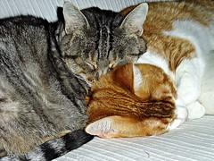 Amorosas . 019 (adioslunitaadios) Tags: dolsaynena gato gatocomún macro fujifilm durmiendo abrazadas mimitos animales descansointeriorarmoníadulzuracompartiendocalor de invierno