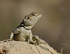 Sling Tailed Agama (Alan McCluskie) Tags: sellagamastelio slingtailedagama lizards reptile cyprus