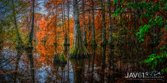 Cypress forest in Fall-9475 (George Vittman) Tags: colors cypresstrees fall fallcolors france landscape nature panorama naturephotography nikonpassion jav61photography jav61 ngc fantasticnature
