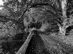 Le chemin de l'étang. Lesquiffiou, nov 2019 (Bernard Pichon) Tags: pleyberchrist finistère france bpi760 fr29 lesquiffiou étang forêt arbre nature chemin bzh breizh noiretblanc sousbois