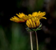 Go Low. (Omygodtom) Tags: lowkey existinglight flower flora contrast cosmo macro bokeh perspective usgs d7100 nikon70300mmvrlens