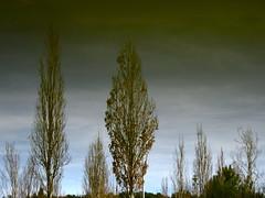 Family Tree (andressolo) Tags: trees family cuvi universidad vigo pond reflection reflections reflejos water agua nature