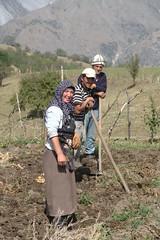 Digging potatoes (Andrea Kirkby) Tags: arslanbob kyrgyzstan potato harvest