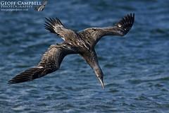 Northern Gannet (Morus bassanus) (gcampbellphoto) Tags: northern gannet morus bassanus seabird bid avian nature wildlife bird flight bif north antrim ballycastle county ireland gcampbellphoto