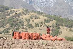 Orange (Andrea Kirkby) Tags: arslanbob kyrgyzstan potato harvest