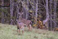 Evening Whitetails  (Explore) (Ike Walker) Tags: whitetails whitetail deer does whitetaildeer hayfield woods ngysa ngysaex
