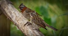 Father & Son (cjarahertel) Tags: nikon nikonphoyography nikonchile nikoneurope nikonusa nikonviña nikonfrance aves birdswatcher
