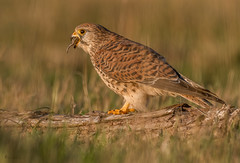 Turmfalkendame( Guten Hunger) (normen.nikon) Tags: d500 200500 nikon wildlife greifvogel turmfalke bird vogel natur tiere