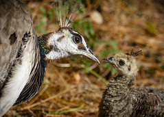 You're Grounded!! (Fourteenfoottiger) Tags: bird nature woodland woods wildlife young peacock chic britishcountryside wildbird britishwildlife baby defiant angry funny cute mum mother parent peahen phasianidae peafowl