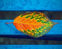 Trepanier bench (L@nce (ランス)) Tags: macro micro nikkor cherry leaf metal bench fall autumn rain raindrop jamesbay victoria britishcolumbia canada bubbyroses