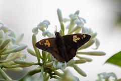 Butterfly (deepskywim) Tags: dieren vlinders bloemen planten sanignacio misionesprovince argentina