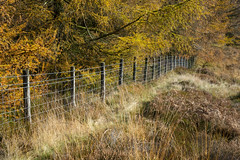 Fence in an autumn landscape (Keartona) Tags: forest larch trees autumn autumnal colour colours edge fence november sunny day longdendale derbyshire england grasses moorland moors hills nature natural landscape yellow orange