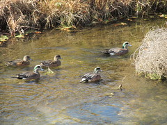 American Widgeons (march61) Tags: birds bird waterfowl nature daylight water valley duck riogrande