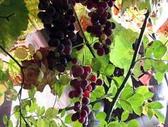 die letzten süssen früchte (lualba) Tags: trauben grapes nature natur green fruit früchte wendland deutschland