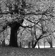 Beech (4foot2) Tags: beech trees tree winter leaves fagus deciduoustrees fagaceae analogue film filmphotography 120film mediumformat bw blackandwhite monochrome mono rolleiflex rolleiflex35c rollei tlr twinlensreflex ilford ilfordhp5plus hp5plus hc110 kodakhc110 kodak 2019 alexandraparkoldham alexandrapark oldham greatermanchester lancashirecottonfamine 4foot2 4foot2flickr 4foot2photostream fourfoottwo