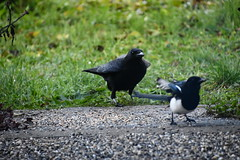 Magpie and Crow 12.11 (6) (tabbynera) Tags: magpie crow
