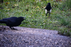 Magpie and Crow 12.11 (2) (tabbynera) Tags: magpie crow