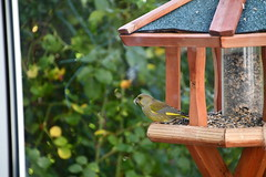 Green Finch 12.11 (13) (tabbynera) Tags: greenfinch