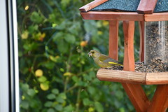 Green Finch 12.11 (12) (tabbynera) Tags: greenfinch