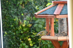Green Finch 12.11 (11) (tabbynera) Tags: greenfinch