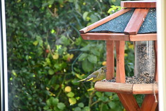 Green Finch 12.11 (10) (tabbynera) Tags: greenfinch