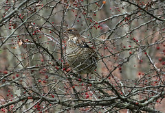Lots Of Food (Diane Marshman) Tags: ruffedgrouse grouse large bird black white gray brown tan feathers wings head tail fall autumn season pa pennsylvania state crabapple tree crab apple fruit food branches nature wildlife