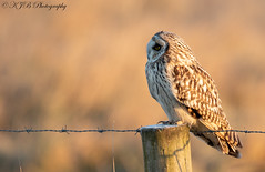 S.E.O (Posted) (KJB Photography.) Tags: seo shorty short eared owl fenland wetland farmland