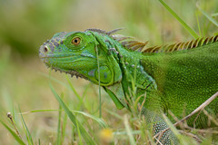 Green Iguana (JDA-Wildlife) Tags: reptiles nikon nikond7100 tamronsp150600mmf563divc jdawildlife johnny portrait closeup eyecontact bocaratonflorida iguanagreen greeniguana brilliant reptile wow