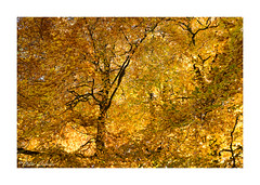 Autumn Gold (PeteZab) Tags: tree leaf leaves fall autumn canopy abstract season arboreal nature peterzabulis thearboretum nottingham baum arbre