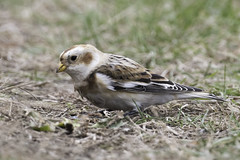 just in from the arctic (material guy) Tags: snowbunting brooklinebirdclub plumisland parkerrivernwr newburyport massachusetts