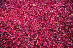 Autumn Colours at Sheffield Park. (philsheer) Tags: sheffieldpark nationaltrust autumncolours