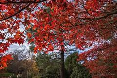 Autumn Colours at Sheffield Park. (philsheer) Tags: autumncolours nationaltrust sheffieldpark