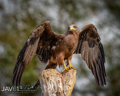 Been spotted by a Black kite (Milvus migrans)-9516 (George Vittman) Tags: birds nature wildlife kite flight raptor nikonpassion wildlifephotography jav61photography jav61 fantasticnature