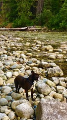 """Louie on the Entiat (Ntvgypsylady) Tags: dog boston river rocks louie """"bostonterrier"""" autumn trees water buddy pondering foraging log downedtree cascades woods foliage greenery bushes northcentralwashington entiatriver wenatcheenationalforest"""