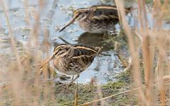Doublet de sourds. (DorianHunt) Tags: champittet switzerland birds swamps jacksnipe november 2019 nikond500 sigma 150600mm