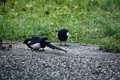 Magpie and Crow 12.11 (4) (tabbynera) Tags: magpie crow