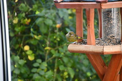 Green Finch 12.11 (15) (tabbynera) Tags: greenfinch
