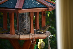 Green Finch 12.11 (14) (tabbynera) Tags: greenfinch