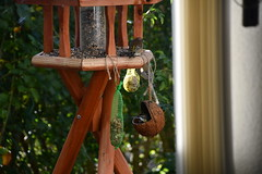 Green Finch 12.11 (6) (tabbynera) Tags: greenfinch
