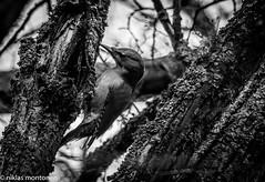 Short trip to Kråkö (aixcracker) Tags: nikond500 iso3200 autumn höst syksy november marraskuu kråkö borgå porvoo suomi finland nature natur luonto bird fågel lintu europe europa eurooppa naturephoto naturfoto luontokuvaus sigmas150600mmf5063