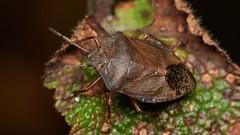 Photo of green shieldbug, Palomena prasina