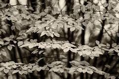 Laub am Baum (Pascal Volk) Tags: berlin mitte alexanderplatz berlinmitte panoramastrase baum tree árbol laub herbstlaub foliage leaves hojarasca follaje natur nature naturaleza pflanze plant planta herbst fall autumn otoño monochrome einfarbig sepia canoneosr meyeroptikgörlitzprimotar135135v 135mm m42 altglas vintagelens dxophotolab dxosilverefexpro nikcollection ilfordpanfplus50