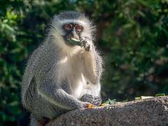 I Love Cucumbers (helenehoffman) Tags: africa africarocks monkey primate mammal vervetmonkey oldworldmonkey conservationstatusleastconcern sandiegozoo chlorocebuspygerythrus animal fantasticnature coth alittlebeauty specanimal coth5 sunrays5
